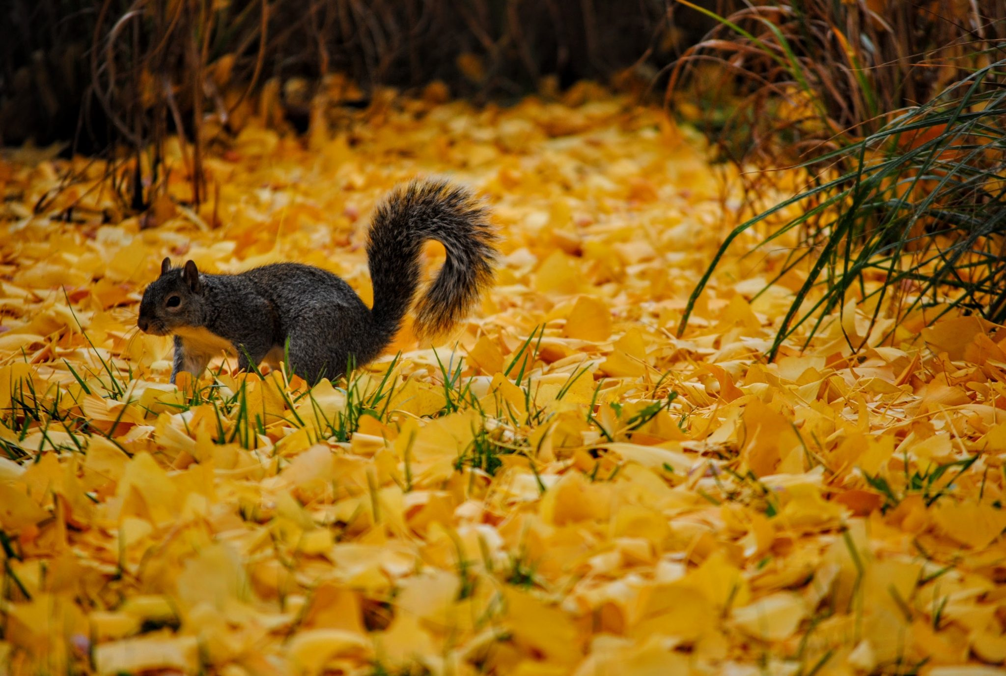Squirrel walking in yellow leaves.